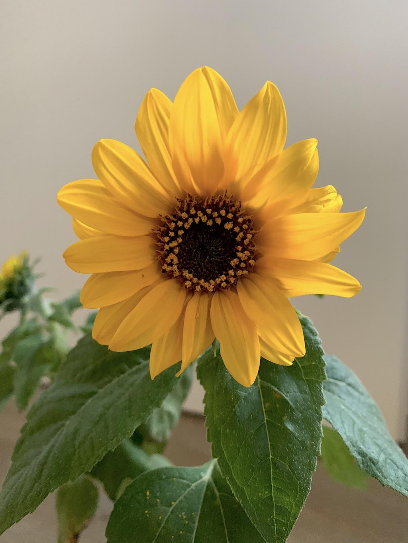 Blühende Sonnenblume aus Lütt-Marikens Zauber-Paket
